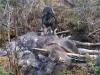 Rambo med kalv skjuten av Christer